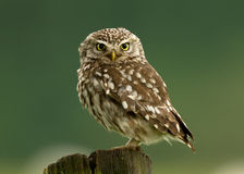 Little Owl (Athene noctua). On a post, Worcestershire, UK stock photos