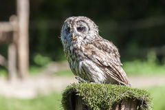 Little owl Athene noctua Royalty Free Stock Photo