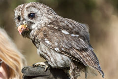 Little owl Athene noctua. A little owl Athene noctua with a prey in her mouth Stock Images