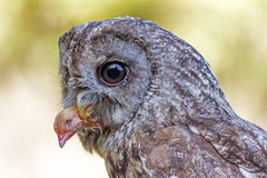 Little owl Athene noctua. A little owl Athene noctua with a prey in her mouth Stock Photography