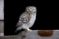 Little owl, Athene noctua Royalty Free Stock Image