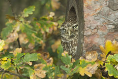 Little owl, Athene noctua Royalty Free Stock Photos