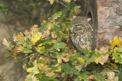 Little owl, Athene noctua Royalty Free Stock Images