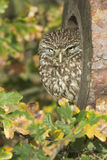 Little owl, Athene noctua Royalty Free Stock Photo