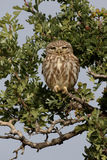 Little owl, Athene noctua Stock Image