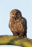 Little owl, Athene noctua, Royalty Free Stock Photos