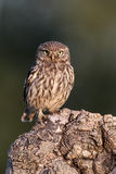 Little owl, Athene noctua, Royalty Free Stock Photo