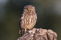 Little owl, Athene noctua, Stock Photo
