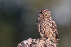 Little owl, Athene noctua, Stock Photography