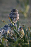Little owl, Athene noctua, Stock Images