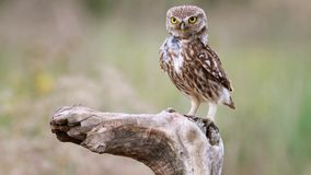 Little owl Athene noctua sits on a stick and makes disturbing sounds. stock footage