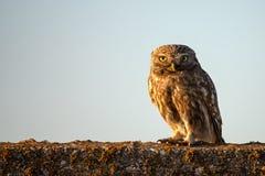 The little owl Athene noctua sitting on a concrete fence stock photo