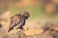 Little owl Athene noctua sitting on a stone stock photos