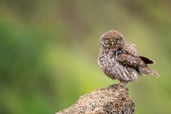 The little owl Athene noctua standing on a rock on a colorful background Royalty Free Stock Image