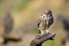 The little owl Athene noctua stands on a branch on a colorful background.  Royalty Free Stock Photography