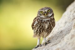 The little owl Athene noctua stands near his hole.  Stock Photo