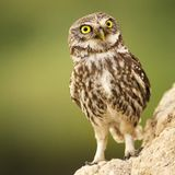 A little owl Athene noctua stands near his hole Stock Photography