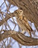Little Owl--Athene Noctua Royalty Free Stock Image