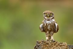 The little owl Athene noctua is on the stone. Royalty Free Stock Photo