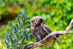 Little owl or Athene noctua on wooden branch with flowers royalty free stock images