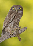 Little owl (Athene noctua) Stock Images