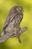 Little owl (Athene noctua) Stock Photos