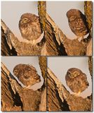 Little Owl babies Royalty Free Stock Image