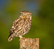 Little owl. Beautiful Little Owl bird in stunning evening light, ( Athene noctua ). Taken in England Stock Photography