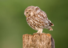 Little owl bird. Beautiful Little Owl bird in stunning evening light, ( Athene noctua ). Taken in England stock photos