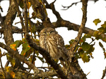 Little Owl Camouflage. Little owl is camouflaging on a tree branch Stock Photos