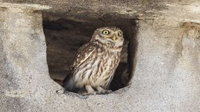 Little Owl in Chimney. Little Owl, Athene noctua, perches inside chimney, looking bewildered stock images