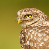 Little owl close-up Stock Photography