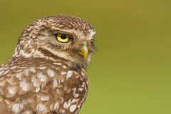 Little owl close-up Royalty Free Stock Photos