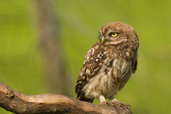 Little owl close-up. A little owl close-up on a bench Royalty Free Stock Photo