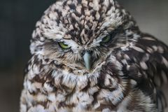 Little owl. Close up head shot of a angry looking little owl Stock Photos
