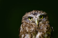 Little owl close up Stock Photos