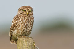 Little owl close-up. A little owl close-up sitting ona pole Royalty Free Stock Photography
