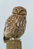 Little owl close-up. A little owl close-up sitting on a pole Stock Image