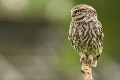 Little owl close-up. A little owl close-up sitting on a pole Stock Photography