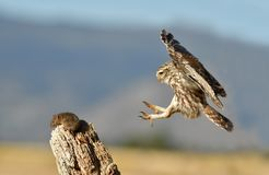 Free Little Owl Comes To His Innkeeper For A Prey Stock Photos - 153214383