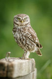 Little owl Royalty Free Stock Images