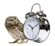 Little Owl, 50 days old, Athene noctua. In front of a white background with alarm clock stock photography