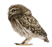Little Owl, 50 days old, Athene noctua. Standing in front of a white background stock images