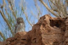 Little owl in the dessert. This little owl i found in Mongolia`s gobi dessert Royalty Free Stock Images