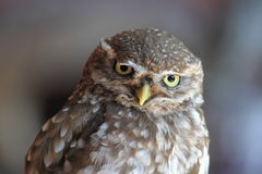 Little owl. The detail of little owl stock photography