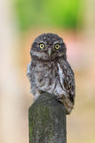 Little owl on a fence royalty free stock photo