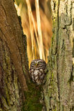 Little Owl in the forest Royalty Free Stock Images