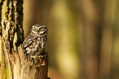 Little Owl in the forest Royalty Free Stock Image