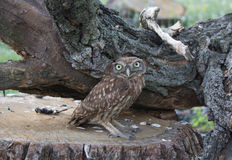 Little owl in forest haunting. Owl in forest haunting predator Royalty Free Stock Photos