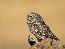 Little owl looking up with caught mouse stock images
